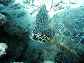 Sea turtle in Mauritius