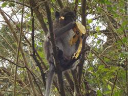Mauritian Macaque Monkey